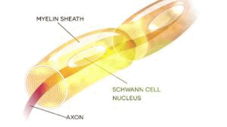 A picture of a nerve cell and the myelin sheath