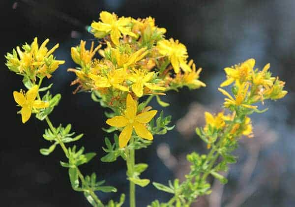 St. John's Wort is one of the ingredients in Nerve Pain Away spray